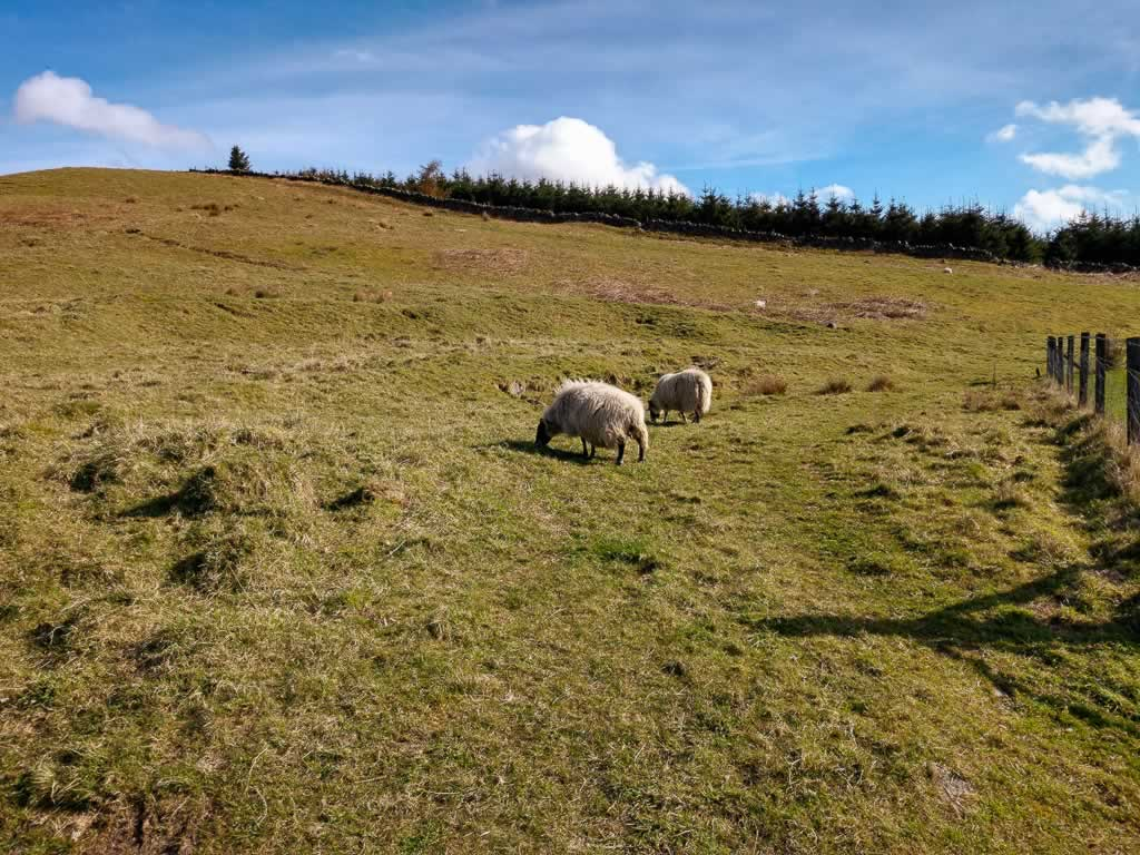 castle campbell 02 sheep